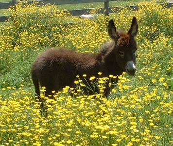 Angelina in the buttercups